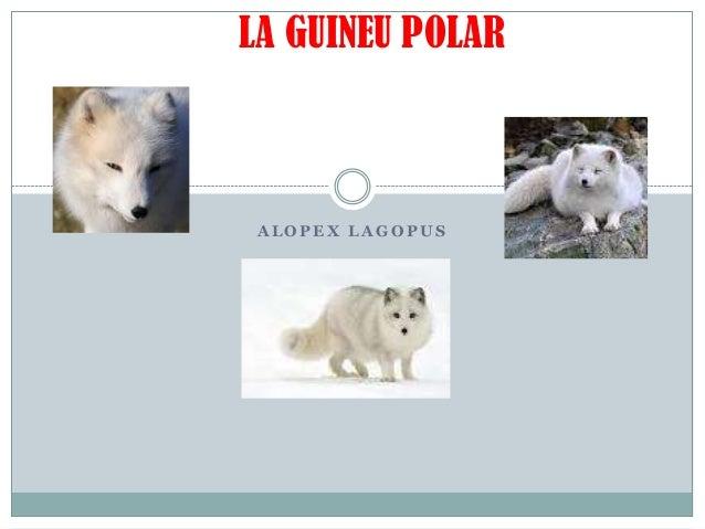 LA GUINEU POLAR  ALOPEX LAGOPUS