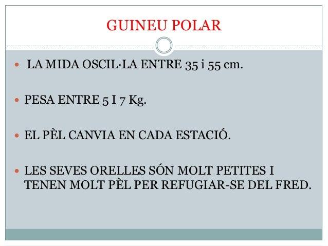 GUINEU POLAR  LA MIDA OSCIL·LA ENTRE 35 i 55 cm.  PESA ENTRE 5 I 7 Kg.  EL PÈL CANVIA EN CADA ESTACIÓ.  LES SEVES OREL...
