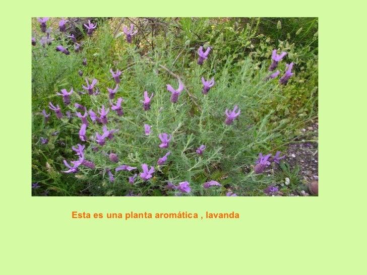 Esta es una planta aromática , lavanda
