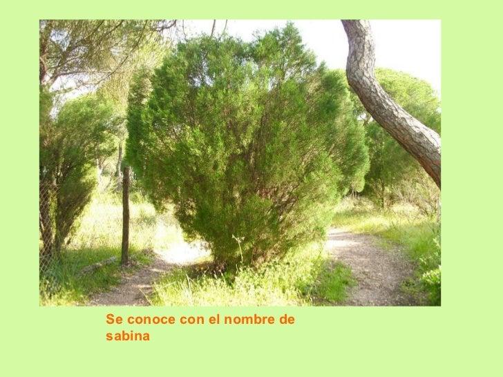 Se conoce con el nombre de sabina