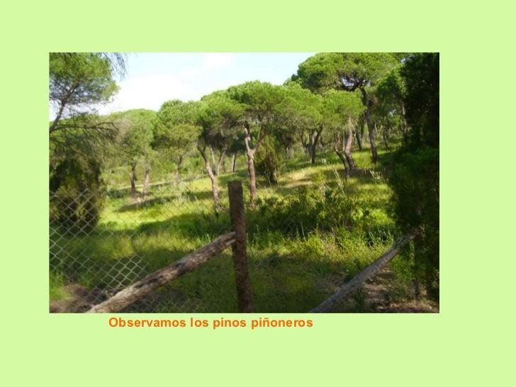 Observamos los pinos piñoneros