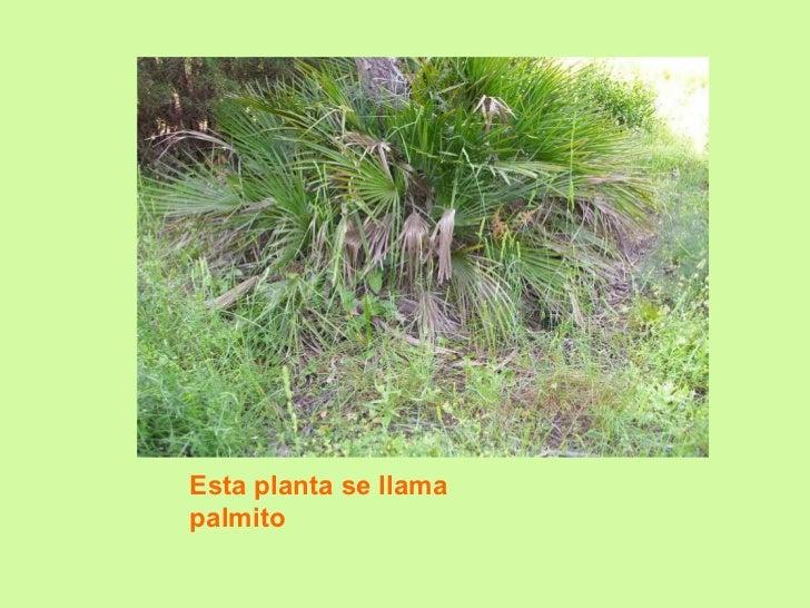 Esta planta se llama palmito