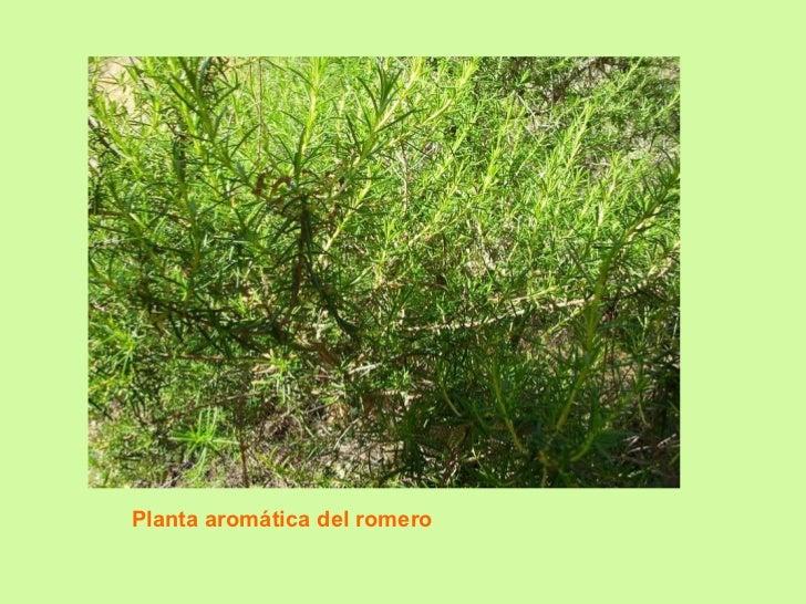 Planta aromática del romero
