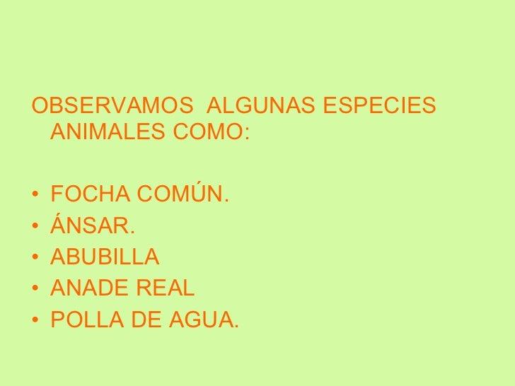 <ul><li>OBSERVAMOS  ALGUNAS ESPECIES ANIMALES COMO: </li></ul><ul><li>FOCHA COMÚN. </li></ul><ul><li>ÁNSAR. </li></ul><ul>...