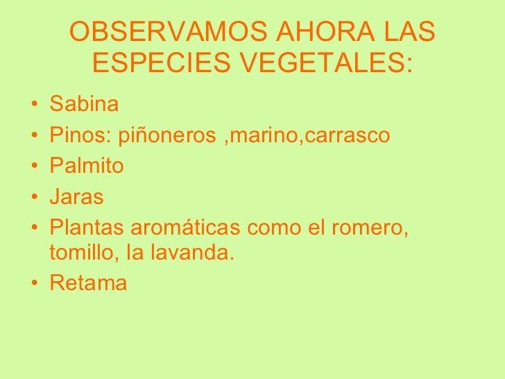 OBSERVAMOS AHORA LAS ESPECIES VEGETALES: <ul><li>Sabina </li></ul><ul><li>Pinos: piñoneros ,marino,carrasco </li></ul><ul>...