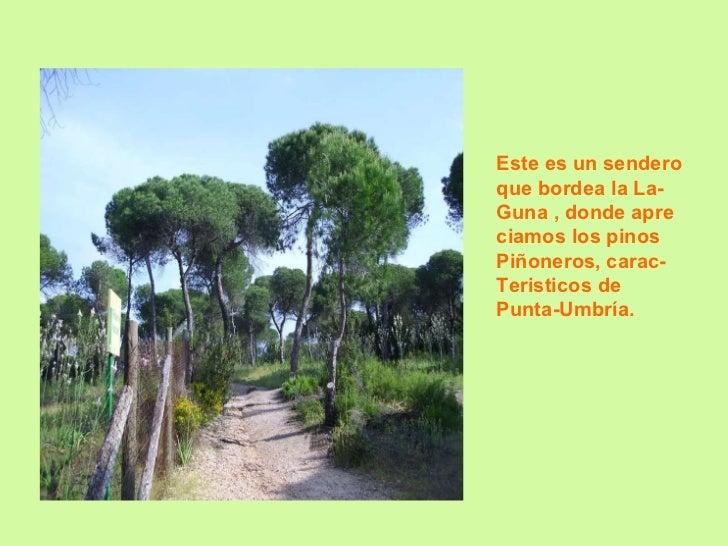 Este es un sendero  que bordea la La- Guna , donde apre ciamos los pinos Piñoneros, carac- Teristicos de  Punta-Umbría.