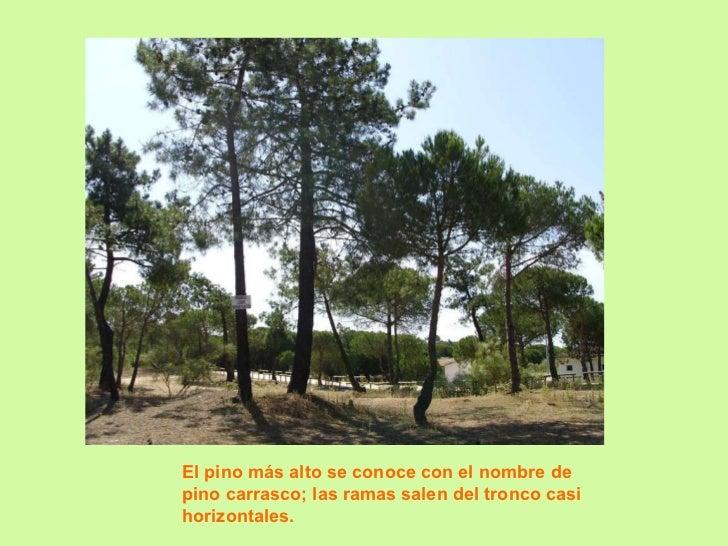 El pino más alto se conoce con el nombre de pino carrasco; las ramas salen del tronco casi horizontales.