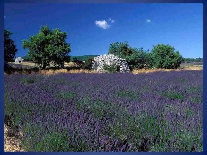 Même si lon rattache la lavande à la Provence, il faut savoir que la lavande est uneplante vivace qui pousse également trè...