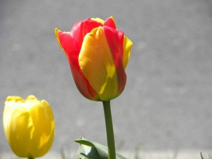 Laleler, Tulips  2011