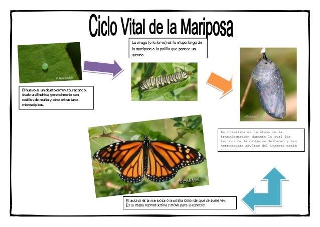 La oruga (o la larva) es la etapa larga de                                              la mariposa o la polilla que parec...