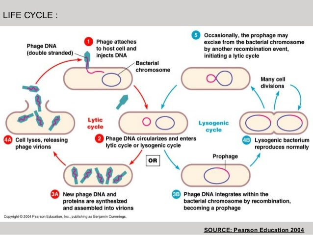Lamda phage life cycle source pearson education 2004 ccuart Images
