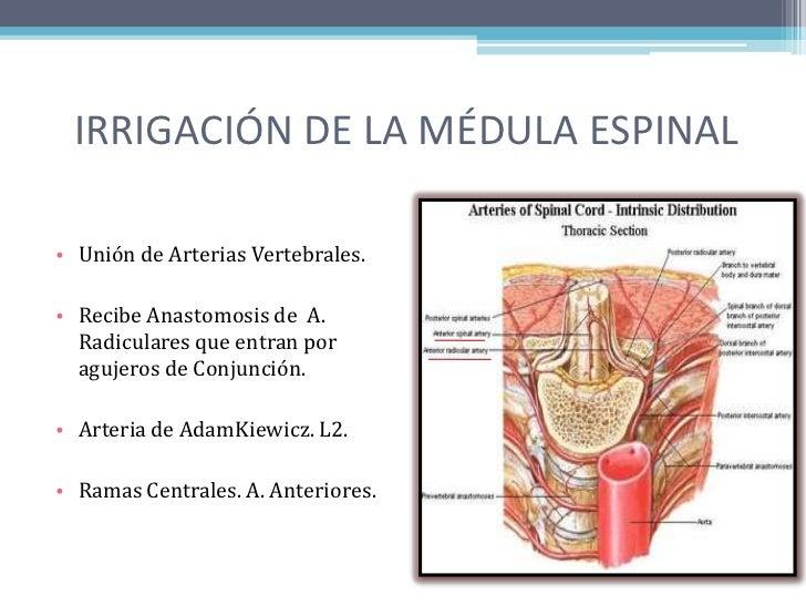La médula espinal, menínges medulares e irrigación