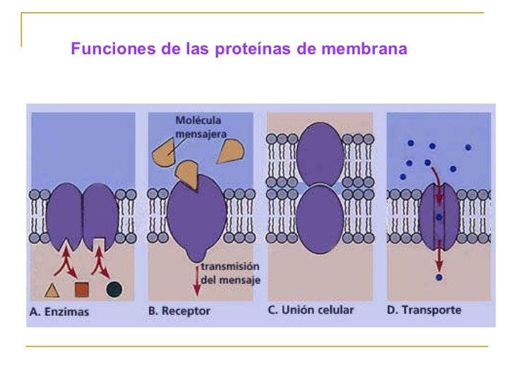 tipos de proteinas de membrana celular