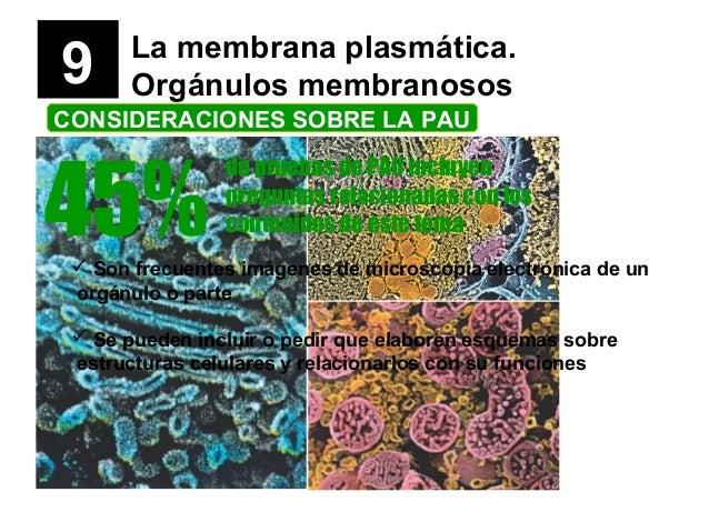 9 La membrana plasmática. Orgánulos membranosos CONSIDERACIONES SOBRE LA PAU 45% de pruebas de PAU incluyen preguntas rela...