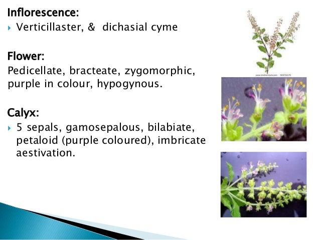 Lamiaceae & nyctaginaceae