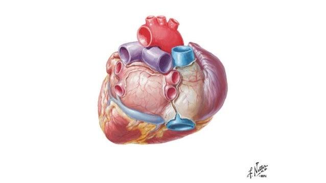 Laminas de la anatomia del corazón- Netter