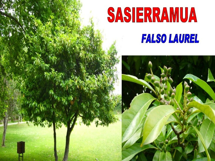 SASIERRAMUA FALSO LAUREL