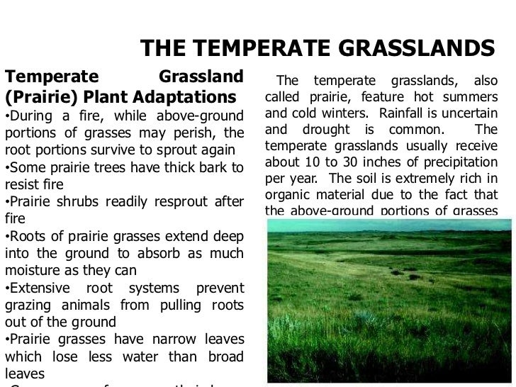 Soft stems enable prairie grassesto bend in the wind. Narrowleaves minimize water loss.Many grasses are wind pollinatedand...