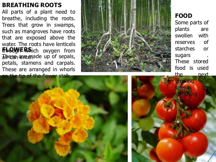 BREATHING ROOTSAll parts of a plant need tobreathe, including the roots.     FOODTrees that grow in swamps,        Some pa...
