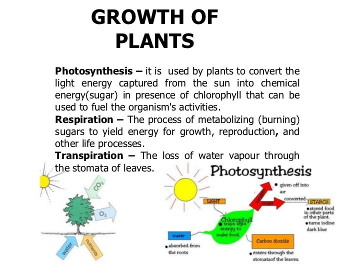 GROWTH OF         PLANTSPhotosynthesis – it is used by plants to convert thelight energy captured from the sun into chemic...