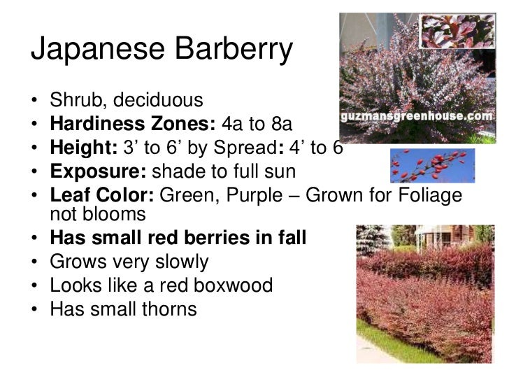 Japanese Barberry•   Shrub, deciduous•   Hardiness Zones: 4a to 8a•   Height: 3' to 6' by Spread: 4' to 6'•   Exposure: sh...