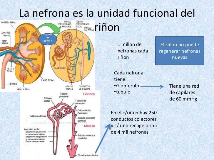 La nefrona es la unidad funcional del riñon