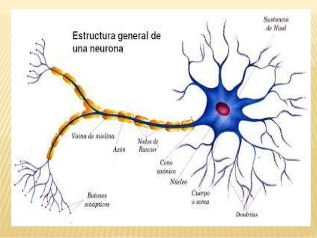 La neurona.