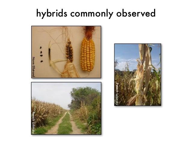 Pesach Lubinsky  Norm Ellstrand  hybrids commonly observed  Pesach Lubinsky