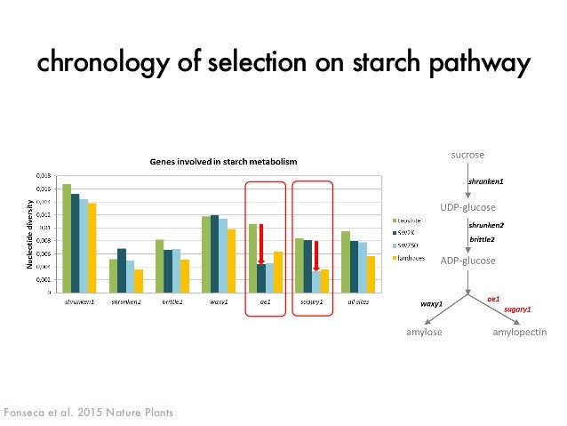 chronology of selection on starch pathway  Fonseca et al. 2015 Nature Plants J. ROSS-IBARRA / UC DAVIS