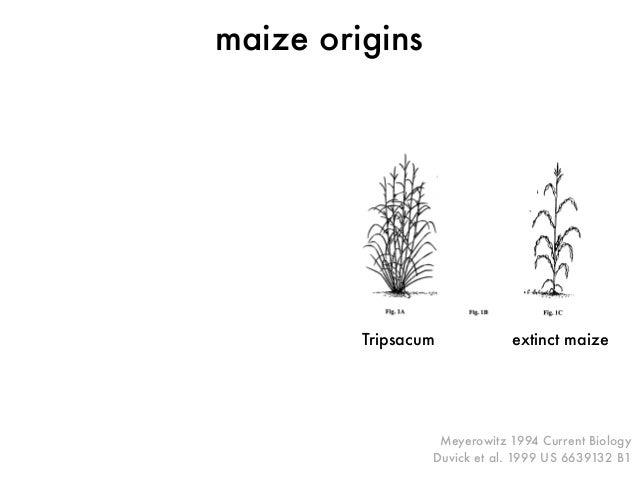 Meyerowitz 1994 Current Biology  Duvick et al. 1999 US 6639132 B1  maize origins  Tripsacum extinct maize