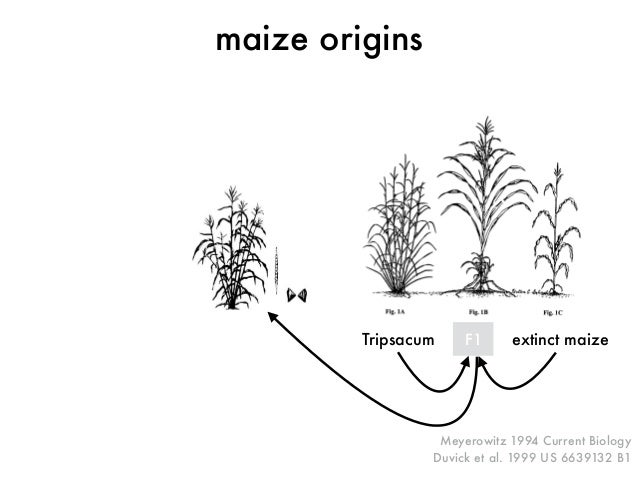 Meyerowitz 1994 Current Biology  Duvick et al. 1999 US 6639132 B1  maize origins  Tripsacum F1 extinct maize