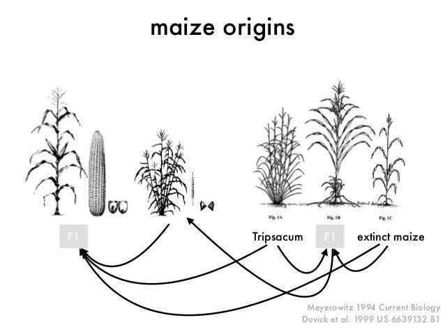 Meyerowitz 1994 Current Biology  Duvick et al. 1999 US 6639132 B1  maize origins  F1 Tripsacum F1 extinct maize