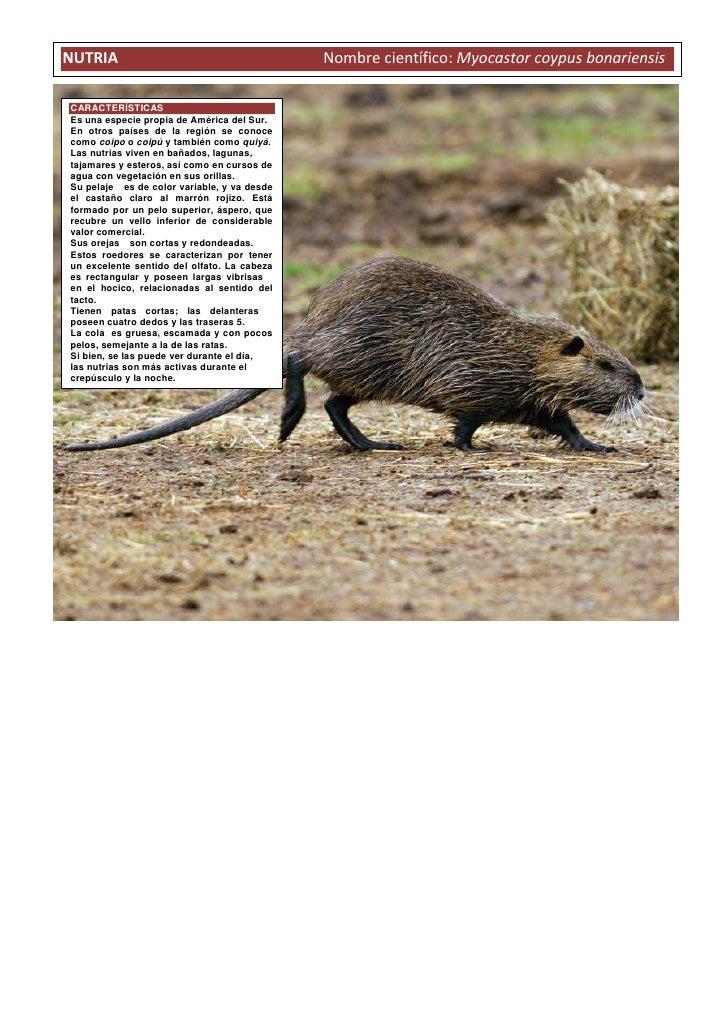 NUTRIA                                         Nombre científico: Myocastor coypus bonariensisCARACTERÍSTICASEs una especi...