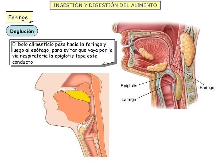 INGESTIÓN Y DIGESTIÓN DEL ALIMENTO Epiglotis Laringe Faringe Faringe El bolo alimenticio pasa hacia la faringe y luego al ...