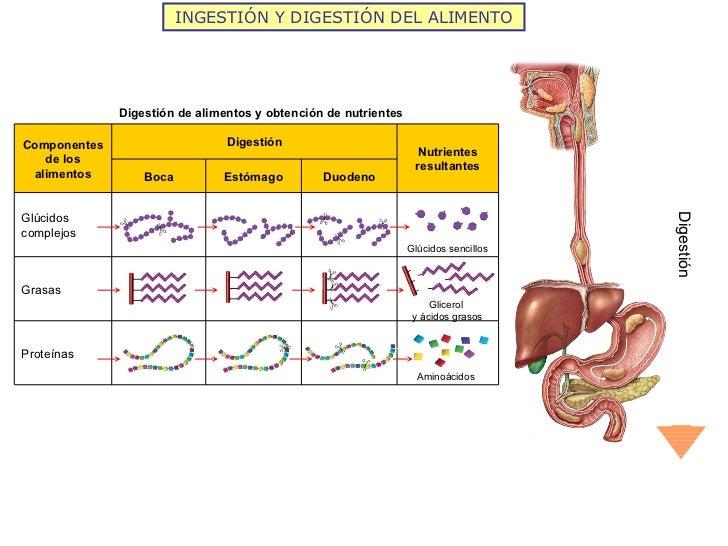 INGESTIÓN Y DIGESTIÓN DEL ALIMENTO Digestión Digestión de alimentos y obtención de nutrientes Glúcidos sencillos Glicerol ...