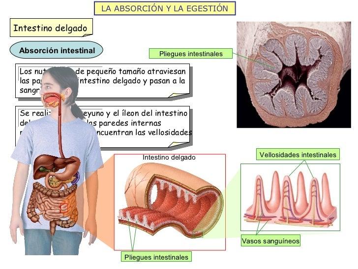 LA ABSORCIÓN Y LA EGESTIÓN Intestino delgado Pliegues intestinales Pliegues intestinales Vellosidades intestinales Vasos s...