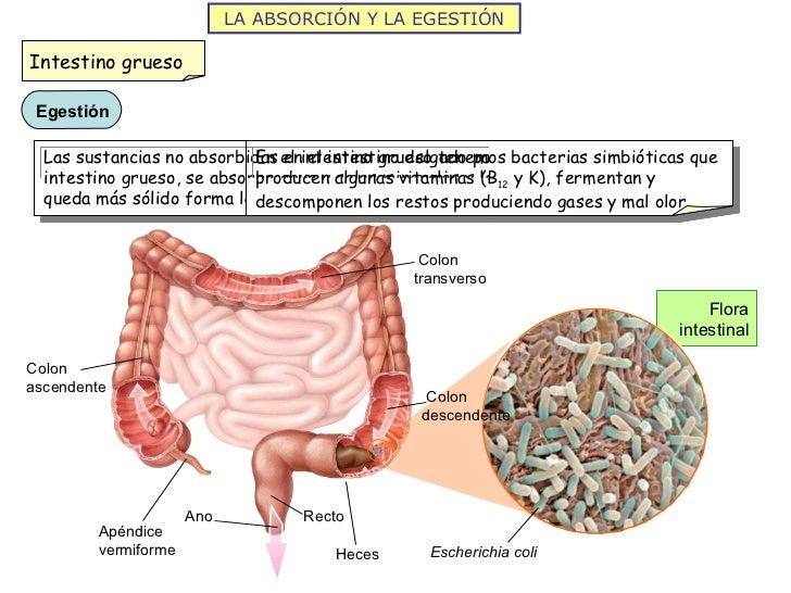 LA ABSORCIÓN Y LA EGESTIÓN Flora intestinal Ano Recto Heces Apéndice vermiforme Colon ascendente Colon transverso Colon de...