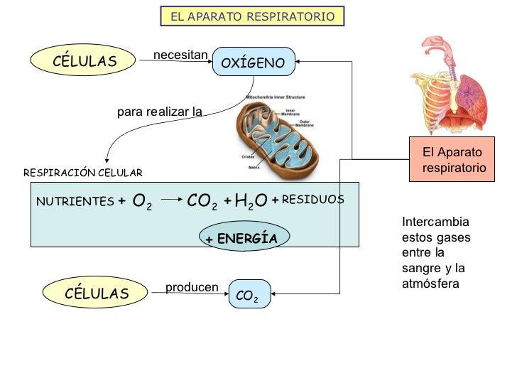 EL APARATO RESPIRATORIO O 2 NUTRIENTES H 2 O RESIDUOS CO 2 + + + + ENERGÍA RESPIRACIÓN CELULAR CÉLULAS OXÍGENO necesitan p...