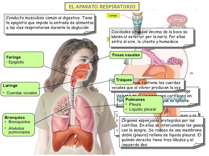 http://www.youtube.com/watch?v=ajbcJiYhFKY&feature=player_embedded# ! EL APARATO RESPIRATORIO Fosas nasales Tráquea <ul><l...