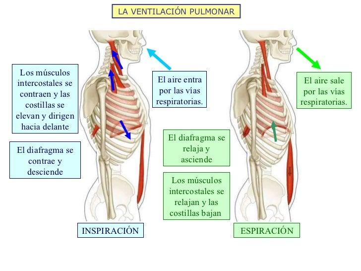 LA VENTILACIÓN PULMONAR ESPIRACIÓN INSPIRACIÓN Los músculos intercostales se contraen y las costillas se elevan y dirigen ...