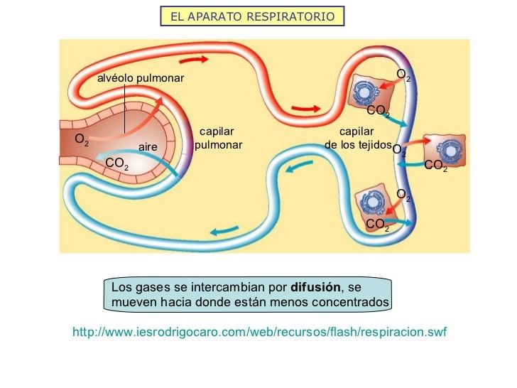 EL APARATO RESPIRATORIO http://www.iesrodrigocaro.com/web/recursos/flash/respiracion.swf capilar  pulmonar capilar  de los...