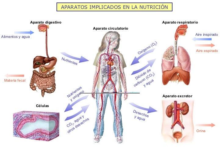 APARATOS IMPLICADOS EN LA NUTRICIÓN Aparato digestivo Aparato respiratorio Aparato circulatorio Células Aparato excretor A...