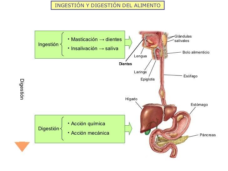 INGESTIÓN Y DIGESTIÓN DEL ALIMENTO Digestión Lengua Dientes Glándulas salivales  Bolo alimenticio Esófago Epiglotis Laring...