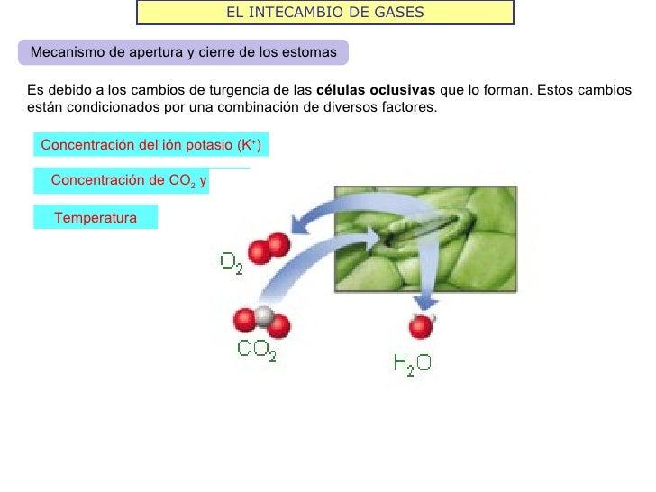 EL INTECAMBIO DE GASESMecanismo de apertura y cierre de los estomasEs debido a los cambios de turgencia de las células ocl...