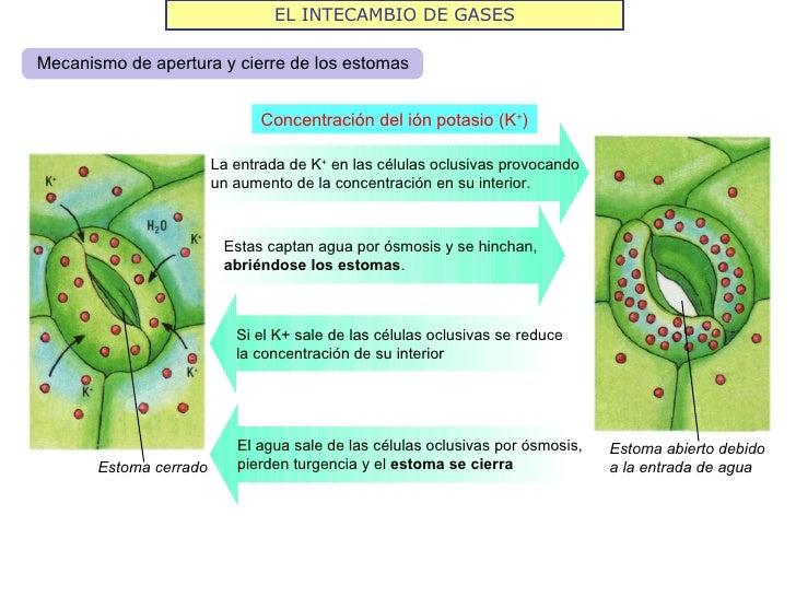 EL INTECAMBIO DE GASESMecanismo de apertura y cierre de los estomas                               Concentración del ión po...