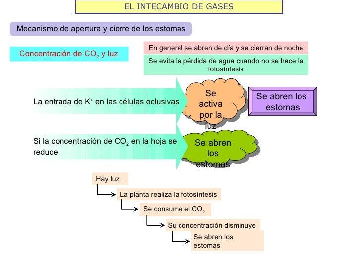 EL INTECAMBIO DE GASESMecanismo de apertura y cierre de los estomas                                        En general se a...