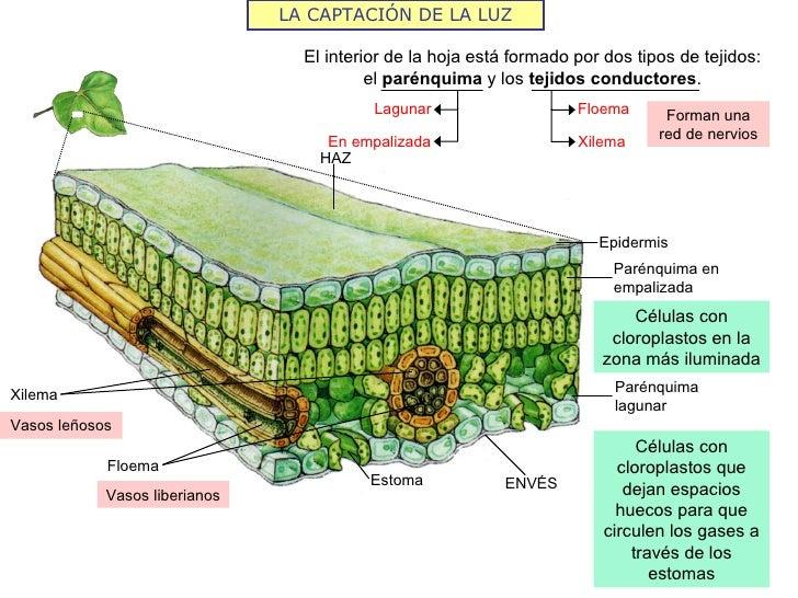 LA CAPTACIÓN DE LA LUZ                                 El interior de la hoja está formado por dos tipos de tejidos:      ...