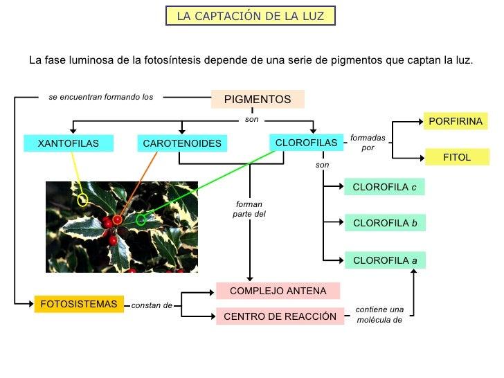LA CAPTACIÓN DE LA LUZLa fase luminosa de la fotosíntesis depende de una serie de pigmentos que captan la luz.   se encuen...