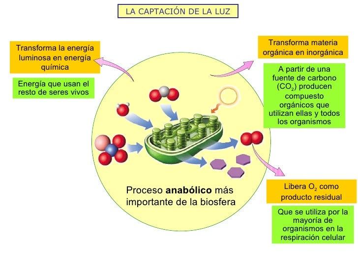 LA CAPTACIÓN DE LA LUZ                                                     Transforma materiaTransforma la energía        ...