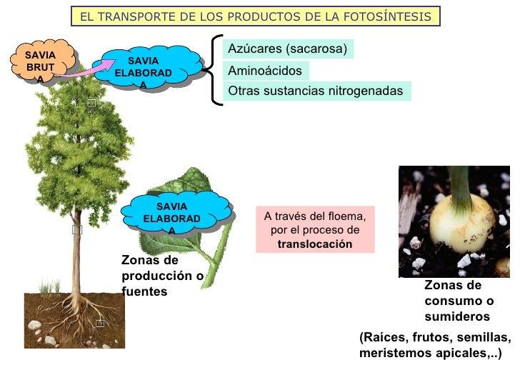 EL TRANSPORTE DE LOS PRODUCTOS DE LA FOTOSÍNTESISSAVIA                            Azúcares (sacarosa)              SAVIABR...